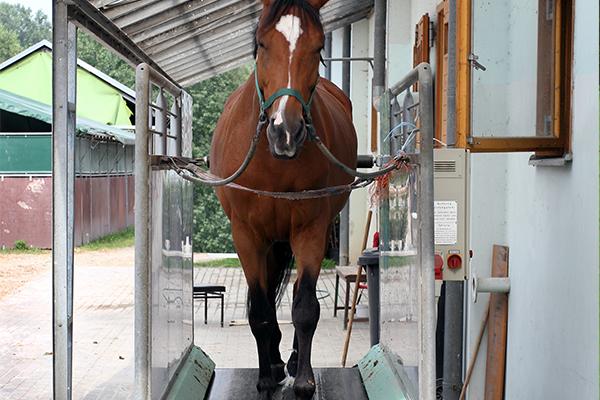 Marcheur Prestation possible pour les chevaux et poneys de propriétaires centre equestre de la dame blanche chaponost lyon rhone
